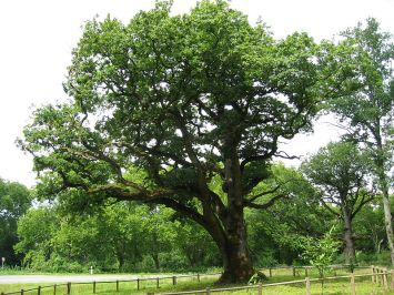 French oak tree